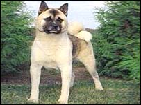Dangerous dogs in the UK - Japanese Akitas - Anna Knuckles