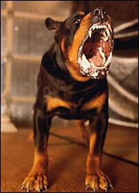 Dangerous dogs in the UK - Rottweilers - Archie-Lee Hirst