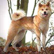 Dangerous dogs in the UK - Japanese Akitas - Charlie Faulding