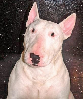 Dangerous dogs in the UK - English Bull Terriers