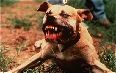 dangerous-dogs-in-england-chloe-2.jpg