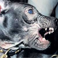 Dangerous dogs in the UK - Staffordshire Bull Terriers - Chloe Ashman
