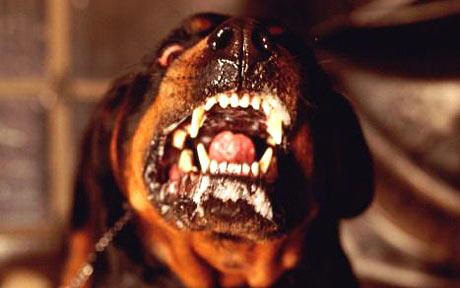 Dangerous dogs in the UK - Rottweilers - Keith Davies