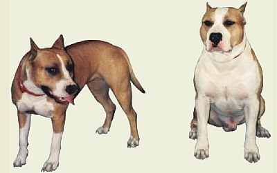 Dangerous Dogs in the UK - American Pit Bull Terriers