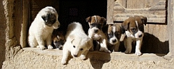 Nowzad Dogs